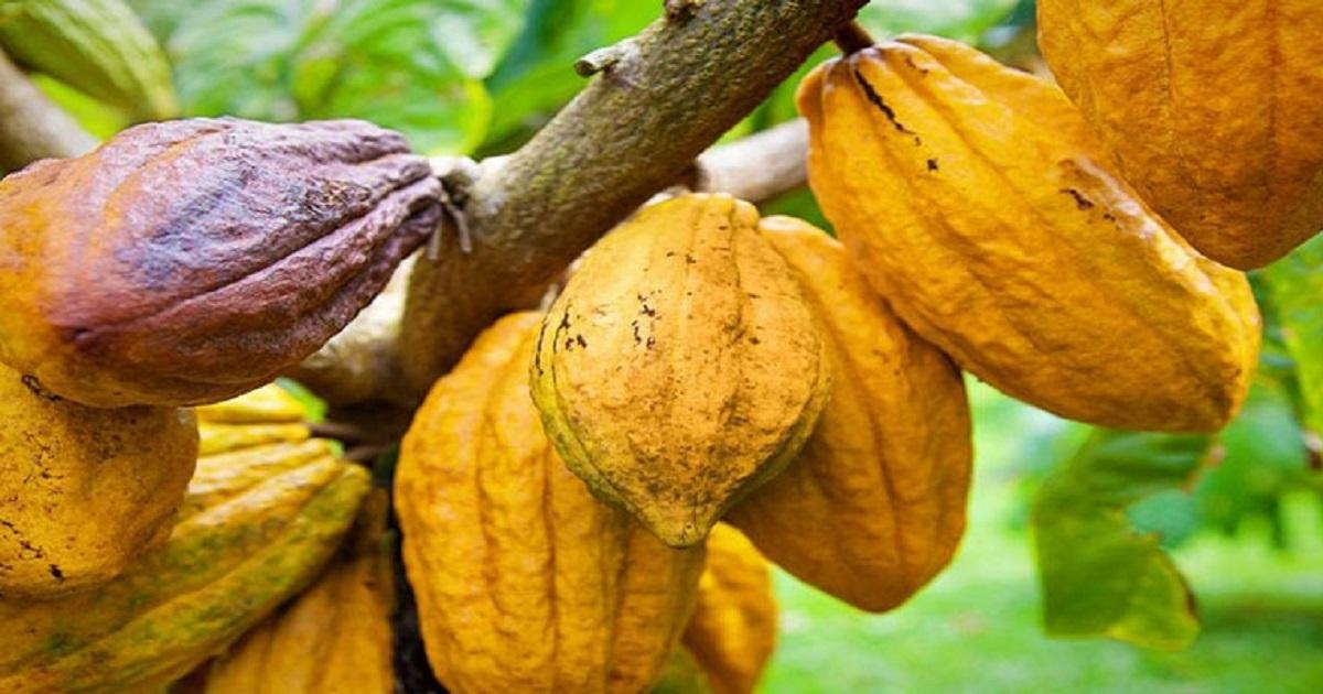 filiere cacao, La Côte d'Ivoire et le Ghana bataillent pour un commerce équitable avec l'UE