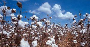 Economie : la production du coton au Mali en détresse