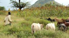 Agriculteurs et éleveurs au Tchad: le conflit s'intensifie