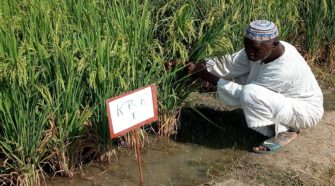 transformation du riz au Burkina