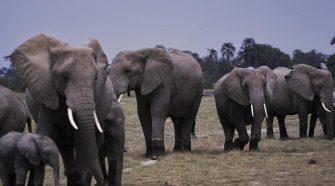 Les éléphants au Kenya , un festival pour leur dénomination en août
