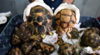 Saisie de tortues au Burkina : une cargaison en direction du Togo interceptée
