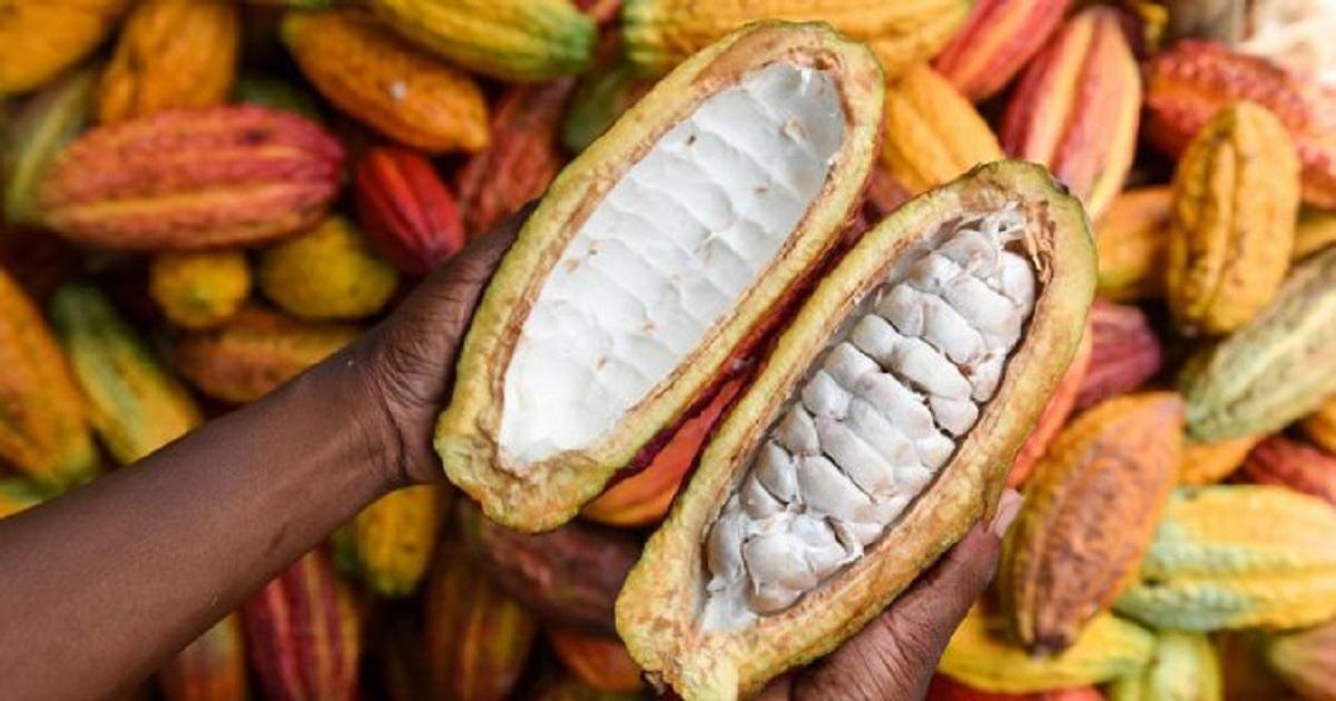Côte d'Ivoire : tensions entre le Conseil Café-Cacao et les organisations paysannes